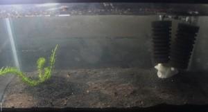 gammarus tank setup
