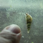 Malaysian Trumpet Snail King